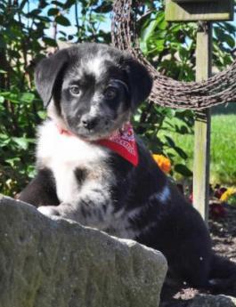 Australian Shepherd Mix Puppy