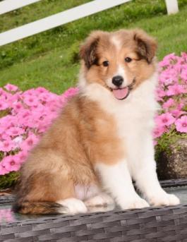 Shetland Sheepdog or Sheltie Puppy