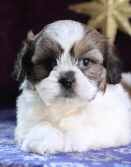 Zuchon, Shichon, or Teddy Bear Dog puppy