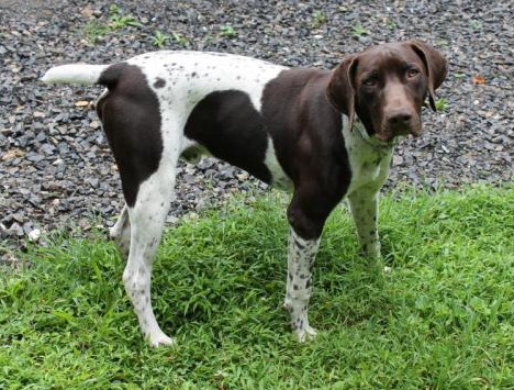 German Shorthaired Pointer Puppies For Sale In Pa Forest Ridge Kennel